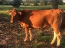 healthy-cow-130.jpg#asset:267